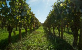 Bordeaux_vineyard_LePan-700x425-633x384