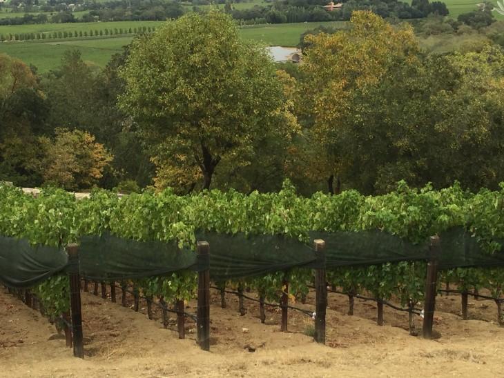 Napa vineyard2